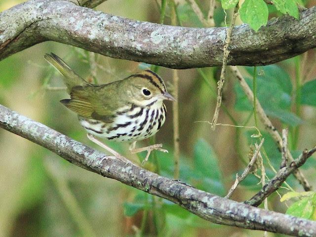 Ovenbird 20130922