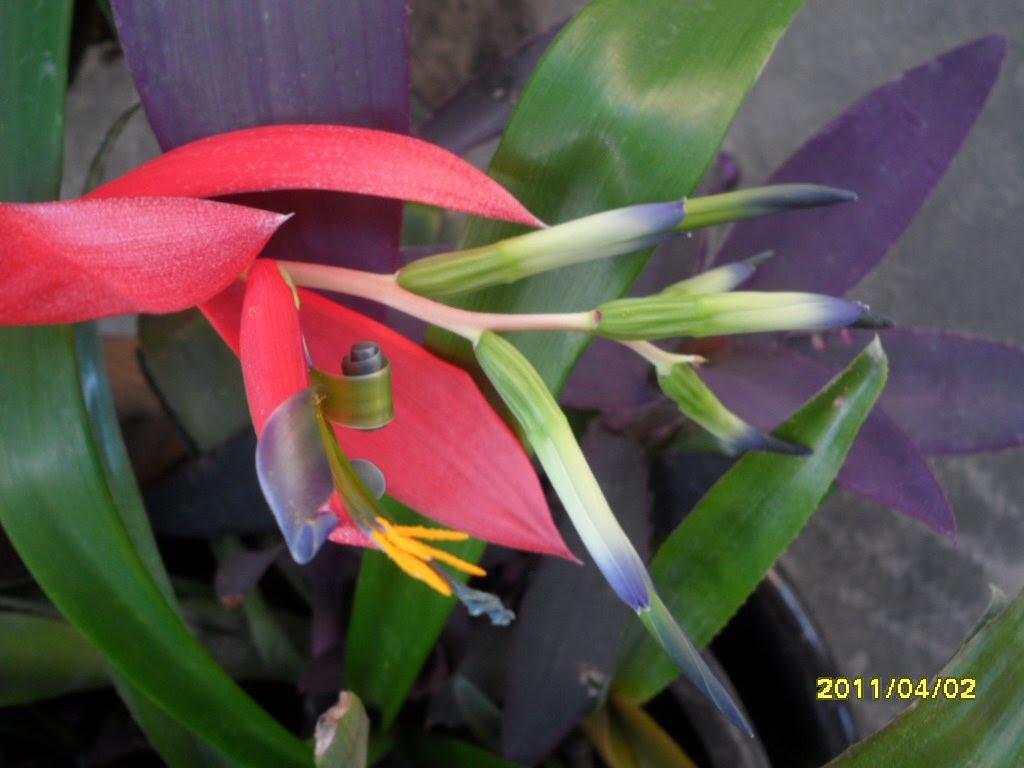 Bromiliad flower