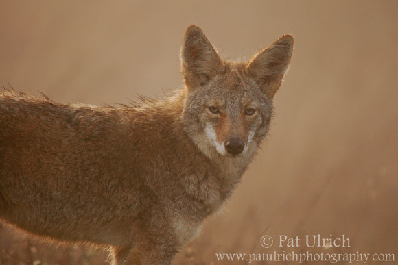 Photograph of a coyote on a foggy morning in Point Reyes National Seashore