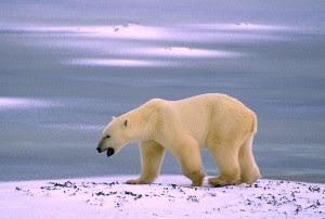 Polar bear (Photo courtesy Fish and Wildlife Service)