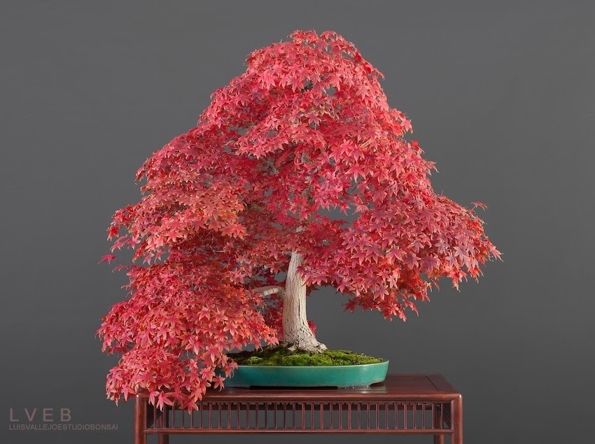 Acer Palmatum Bonsai tree