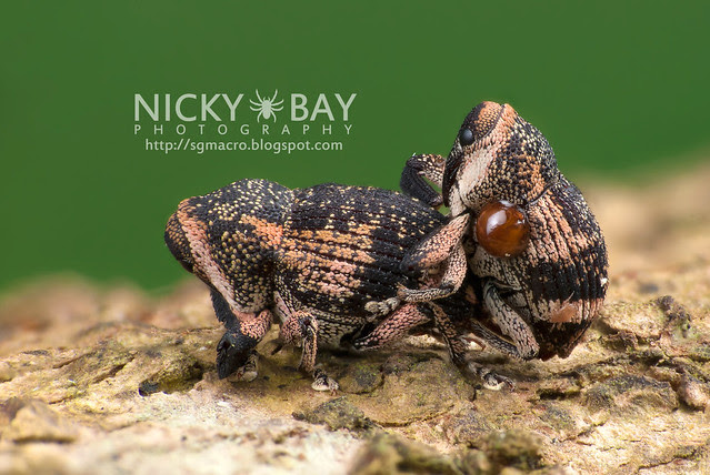 Weevils (Curculionidae) - DSC_7469