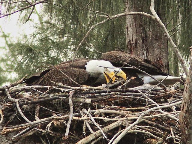 Bald Eagle female and male rearrange stick 20131127