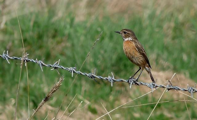 24166 - Stonechat, Llangennith Moor, Gower
