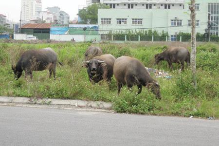 """Nhiều dự án """"Khu đô thị mới"""" ở Hà Nội mở rộng trở thành """"Dự án ma"""" hoang toàng cỏ mọc, gây lãng phí nguồn tài lực quốc gia. (Ảnh: Khu đô thị Kim Chung-Di Trạch)"""