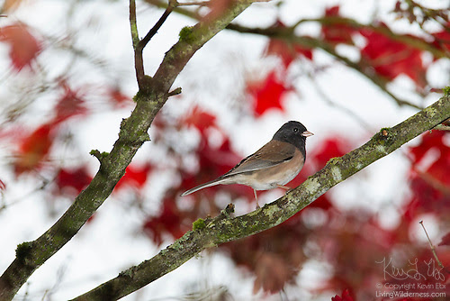 Male Oregon Junco in Maple Tree, Autumn, Snohomish County, Washington
