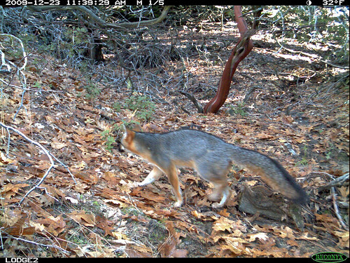 gray fox by day