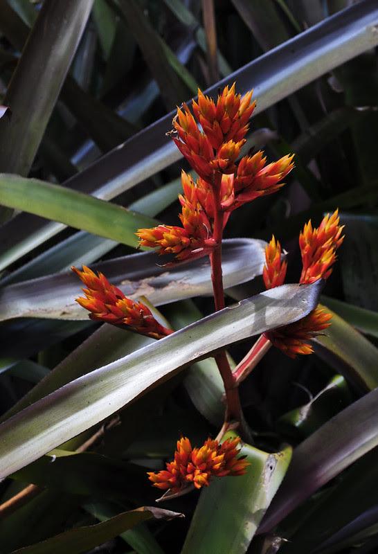 Bromeliad