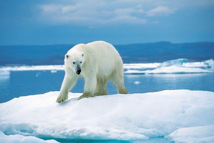 Eisbär 1996-07-23 - דוב קוטב – ויקיפדיה
