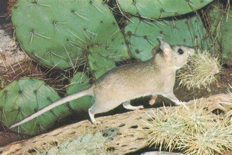 Pack Rats   Portland Pest Guard