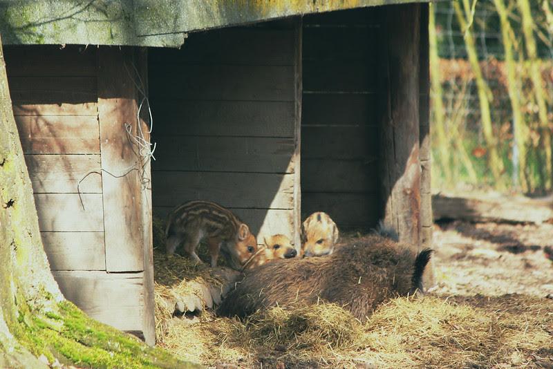 kleine bebi schweinchen