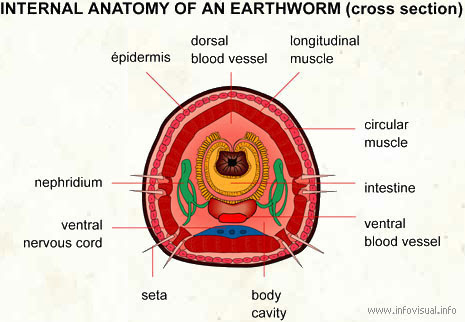 earthworm dissection diagram. Diagrams