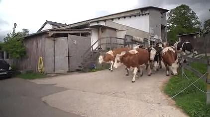 Vacas que parmanecían toda su vida en cautiverio saltan de alegría al ser liberadas