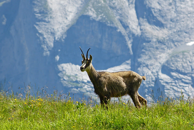 Wild Chamois, Switzerland