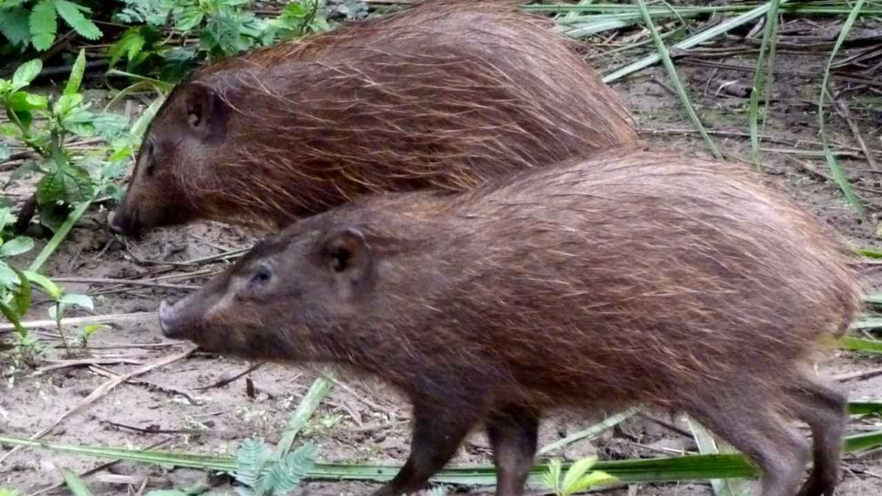 12 pygmy hog have been released into the wild in Assam in an effort to boost population. Image credit: pygmyhog.org