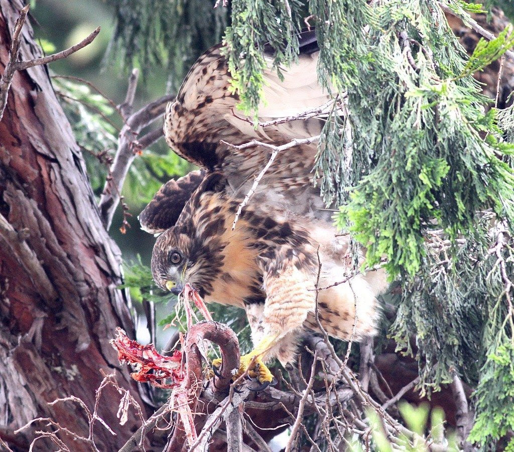 One of this year's redtail fledglings, eating a gosling / Photo by Mary Malec