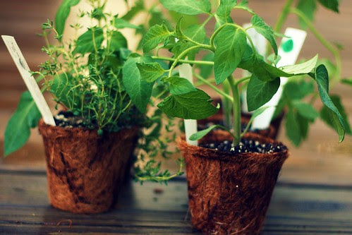 tomato plants and herbs