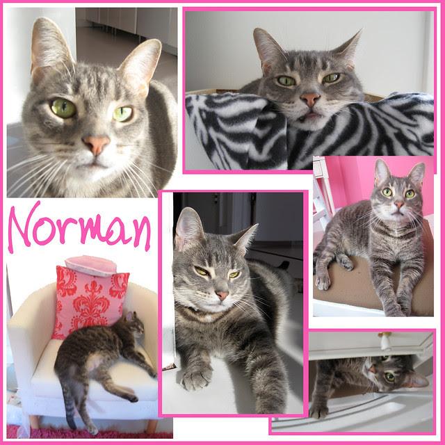 Norman {my favorite kitty} Collage - Jan 2010