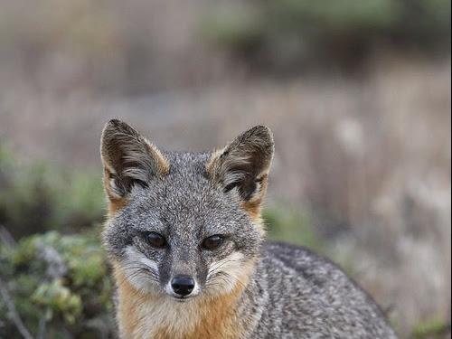 Island Fox For Sale