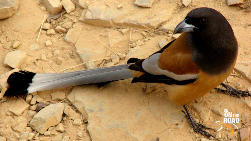 Friendly with humans and ready for a bite of junk food - Rufous Tree Pie, Ranthambore Tiger Reserve, Rajasthan, India