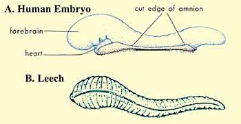 Gambar 1. Bagan yang menggambarkan kemiripan dalam hal penampilan antara lintah dan embrio manusia pada fase 'alaqah.