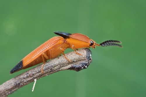 Click Me!!! orange click beetle........ IMG_9924 copy