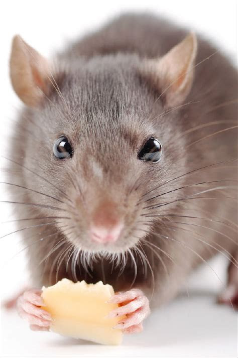 Facts About Rats