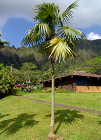 Florida Thatch Palm Tree Thrinax Radiata