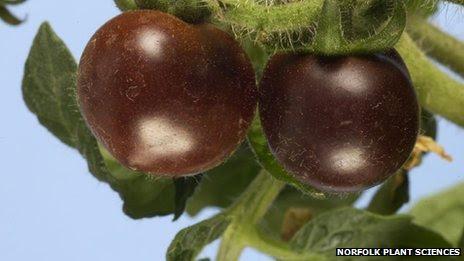 GM purple tomatoes