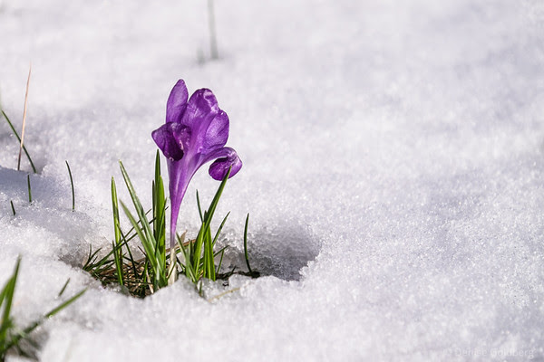 snow crocus