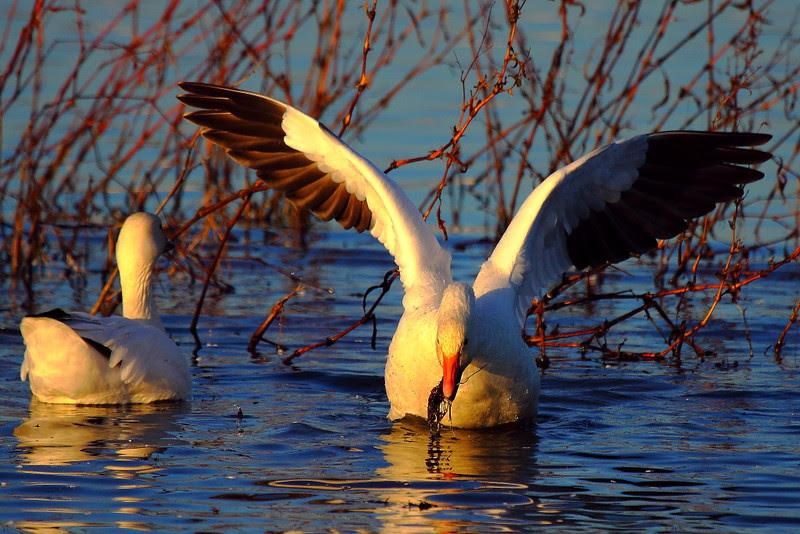 IMG_9485 Snow Geese