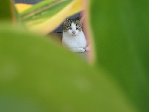 St. Kitts Kat