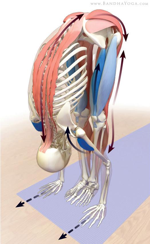 stretching posterior kinetic chain in uttanasana