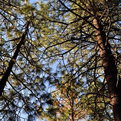 Camp Trees