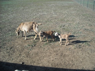 New Goats George and Gracie with their Mother Pammy