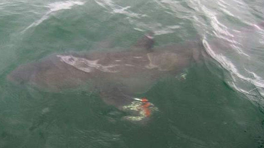 6 Year Old Hooks Great White Shark Off Cape Cod Boston Com