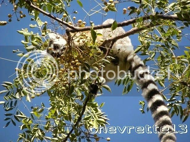 http://i1252.photobucket.com/albums/hh578/chevrette13/Madagascar/DSCN0957640x480_zps6ba8d7f2.jpg
