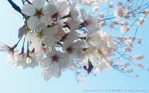 スマホで撮影 誰でも出来るキレイな桜の撮り方 黒木陽斗 公式ホームページ