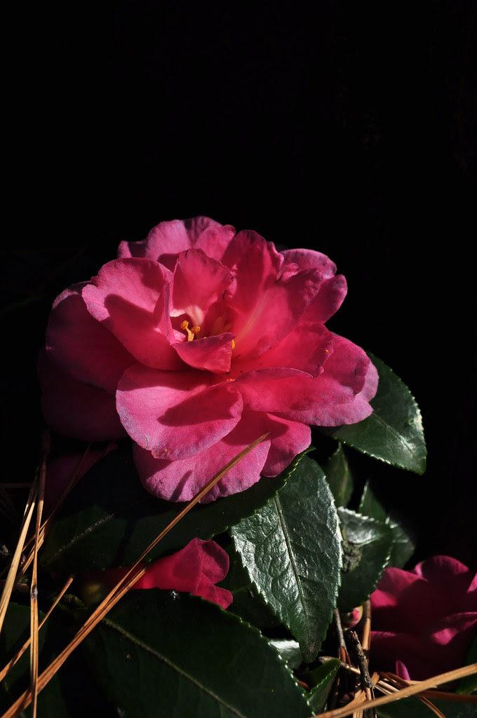 Camellia hiemalis 'Shishigashira' 4
