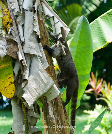 White-nosed Coati Looking for Bananas