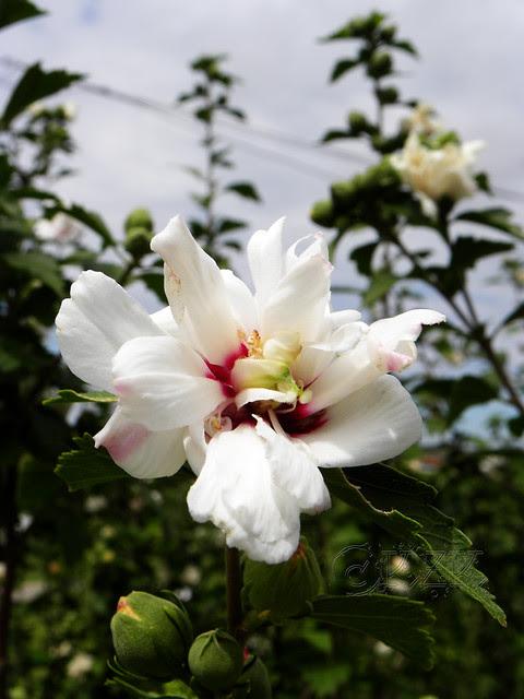 DSCN3909 Rose of Sharon
