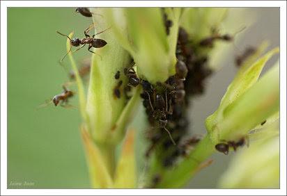 Plagas: hormigas