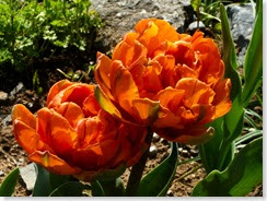 mali oranžni na skalnjaku