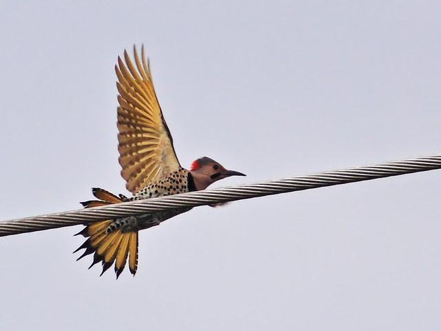 Northern Flicker male 20131230