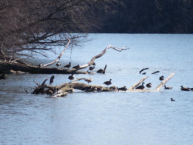 IMG_0549cps Great Blue Heron, Canada Geese, Mergansers