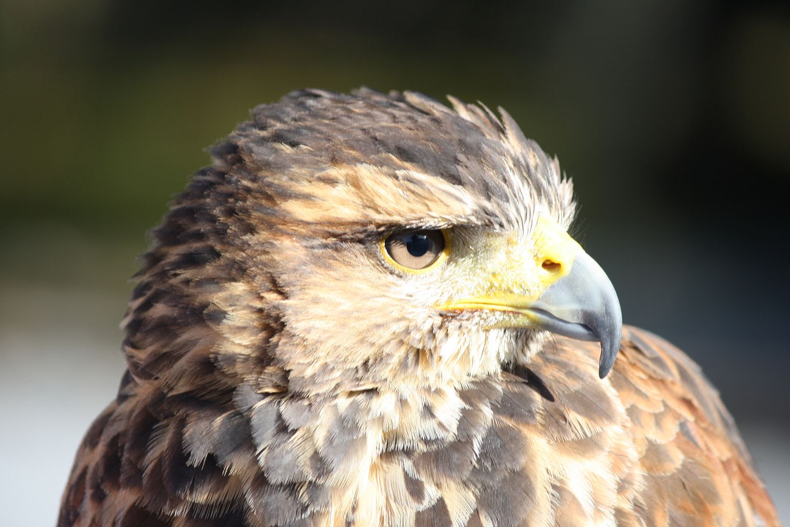 Ireland's School of Falconry Hawk Walk photo IMG_2603_zpsapzpemdl.jpg