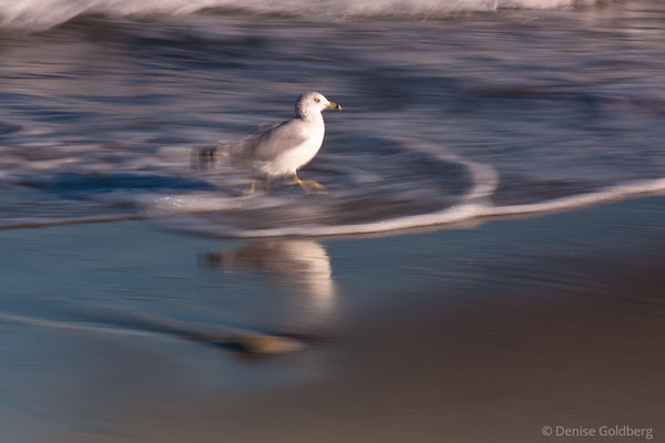 sea gull scampering