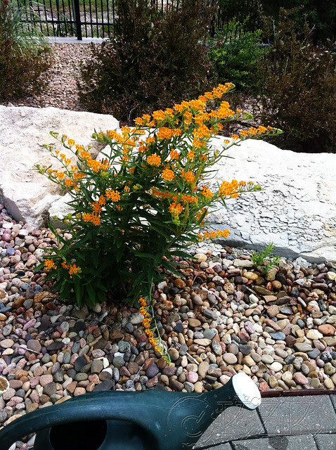 IMG_9694 Butterfly Weed