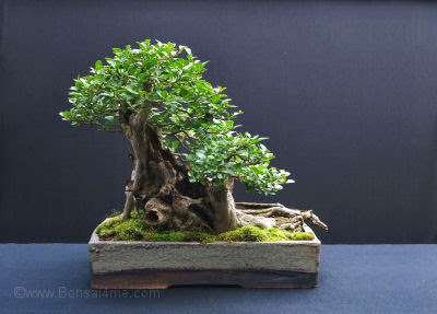 ligustrum Privet Bonsai