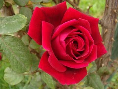 The rose has thorns only for those who would g...